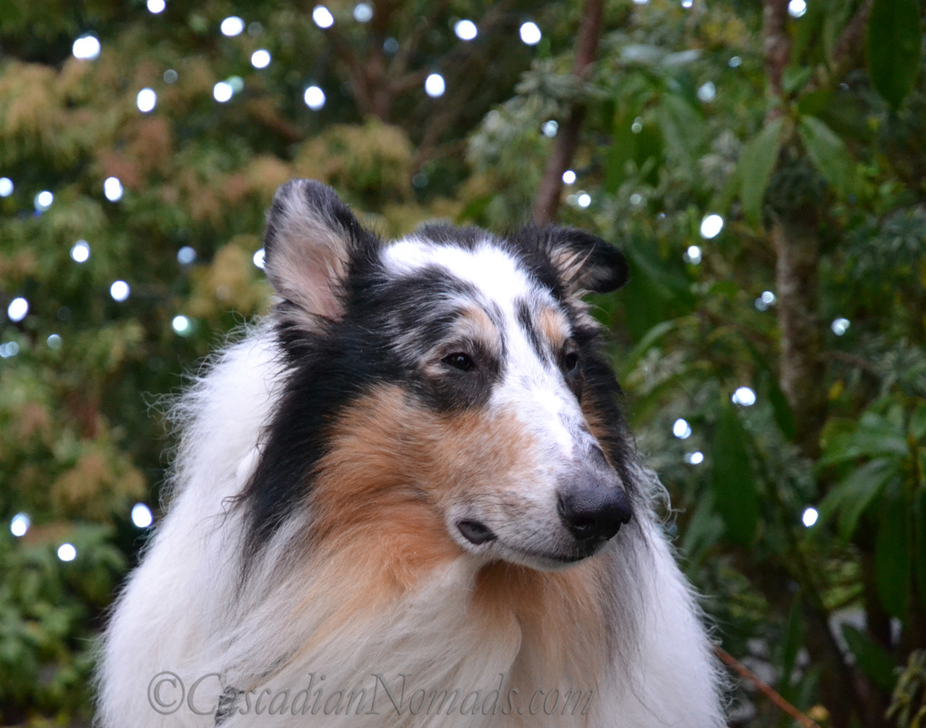 Dogs, Bokeh and Holiday Cheer: Harlequin blue merle rough collie Huxley photographed with holiday lights