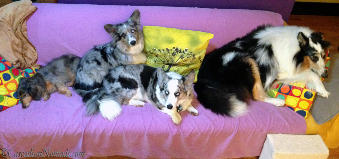 Four dogs find comfort on a couch: Blue merle Cardigan Welsh corgid Morgan and Brychwyn are bookended by miniature dachshund Wilhelm and rough collie Huxley.