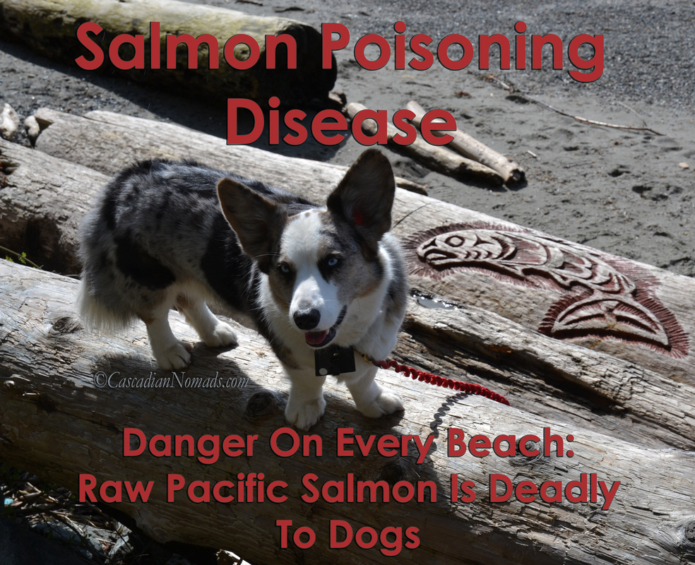 Salmon Poisoning Disease, Danger On Every Beach: Raw Pacific Salmon Is Deadly To Dogs