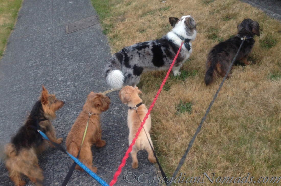 Five dog walk left to right; Austrailian Terrier, Norfolk Terriers, Cardigan Welsh Corgi and Miniature Dachshund.